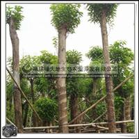 福建绿大地供应|萍婆树地苗移植富贵子