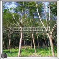 福建绿大地供应|庭荫树蓝花楹工程用