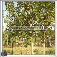 福建绿大地供应 菩提树移植苗菩提榕落叶苗木