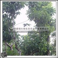 福建绿大地供应 白玉兰园林工程北方树种