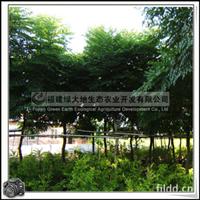 福建绿大地供应 园景树无患子科台湾栾树胸径8公分以上