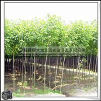 福建绿大地供应|重阳木|行道树|道路绿化|供应大型苗木景观树