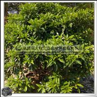 非洲茉莉|常绿(攀援)灌木|性喜温暖|景观园林用树