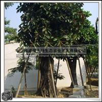 福建绿大地供应 乔木橡皮树胸径40-50公分