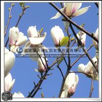 福建绿大地供应|白玉兰白玉兰幼苗供应各种规格