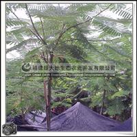 福建绿大地供应|蓝花楹胸径12公分绿化工程用用树