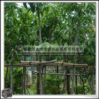 福建绿大地供应 白玉兰工程用胸径5-9cm高度2-2.5m
