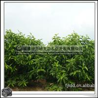 福建绿大地供应 供应白玉兰桩景盆栽白玉兰小苗