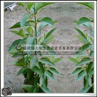 福建绿大地供应 白玉兰白玉兰幼苗胸径1-2公分