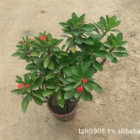 虎刺梅|园林绿化苗木|铁海棠|盆栽观赏|优质苗木|大量批发