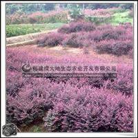 福建绿大地供应|园林绿化苗木红花继木小乔木