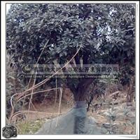福建绿大地供应 桂花 丹桂 红花丹桂 胸径24cm 常绿灌木