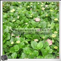 八仙花|盆栽观赏花木|花篱||大量批发