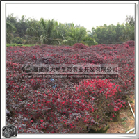 红花继木|喜光植物|园林景观树|优质苗