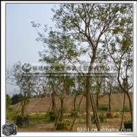 黄花风铃木|风景树|优良行道树|胸径15-20公分