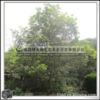 桂花 丹桂 红花丹桂 园林常绿灌木