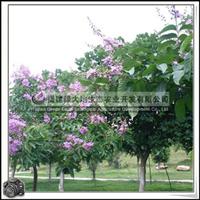 福建绿大地供应|大叶紫薇百日红风景景观树