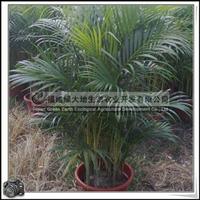 福建绿大地供应|散尾葵高度1米形态优美