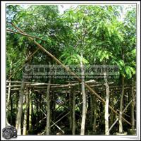 福建绿大地供应|铁刀木绿化园景树黑檀铁刀木