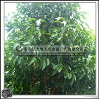 福建绿大地供应|园林白玉兰落叶乔木胸径9-10公分