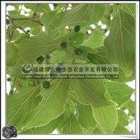 福建绿大地供应|落叶榆科朴树胸径20-30公分