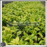 福建绿大地供应|金叶假连翘园林绿化苗木植被绿化材料