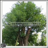 福建绿大地供应|重阳木|绿化工程量大价格从优