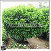 福建绿大地供应|非洲茉莉球绿化苗木灌木大量批发价格优惠