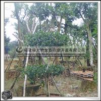 福建绿大地供应 台湾栾树 世界十大名木