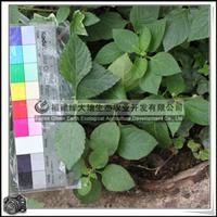 福建绿大地供应 马缨丹五色梅多年生蔓性灌木植被绿化