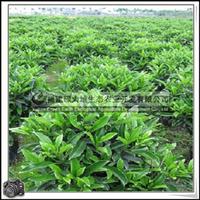 福建绿大地供应|非洲茉莉球绿化苗木灌木大量批发