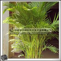 福建绿大地供应|散尾葵|常用于室内摆放|造型优美