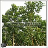 福建绿大地供应|重阳木|园林景观用树|可做行道树|优质树种