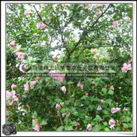 福建绿大地供应|木槿胸径4.2-4.8cm福建花卉