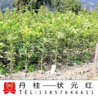 【兴梅】状元红丹桂桂花树苗/开红花盆景盆栽新品种庭院绿化植物