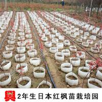 【兴梅】精品日本红枫花卉小树苗木庭院植物行道树木盆栽盆景