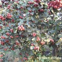 批发供应苗木种子山楂种子当年新�窳看笥呕莨�苗山楂苗木