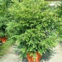 红豆杉批发红豆杉价格红豆杉供应商