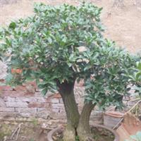 供应青州桂花优质嫁接桂花盆栽桂花树