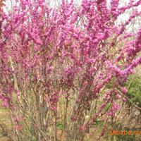大量批发优质苗木绿化苗木种子、乔木、灌木、花卉、山楂种子等