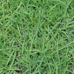 出售优质的花卉种子绿化苗木早熟禾种子