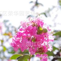 大量供应优质绿化苗木产地直销大红紫薇