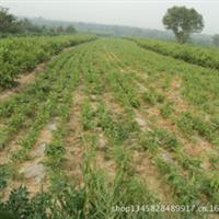 核桃树苗嫁接核桃树苗优种核桃树苗实生核桃树苗