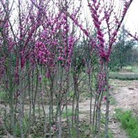 长期特价供应绿化灌木紫荆欢迎来电咨询订购