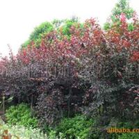 基地直销胸径3-10cm的湖南乔木类绿化苗木红叶李
