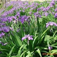 基地大量供应湖南一两年生草花类蓝花鸢尾