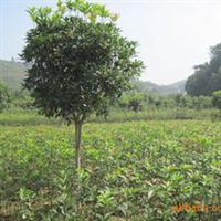 湖南长沙苗木丹桂树大量供应乔木类3-4公分高杆丹桂