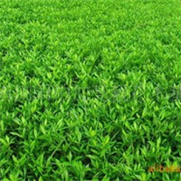 基地大量供应灌木类湖南绿化苗木小叶栀子品种齐全