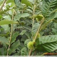 基地大量供应优质果树苗类植物板栗苗