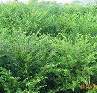 供应乔木类绿化苗木南方红豆杉及红豆杉小苗